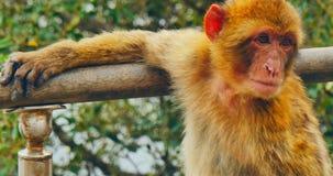 Le visage de macaques de barbery banque de vidéos