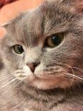 Le visage drôle de l'écossais plient le chat avec de grands yeux oranges Images stock