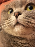 Le visage drôle de l'écossais plient le chat avec de grands yeux oranges Photo stock