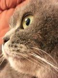 Le visage drôle de l'écossais plient le chat avec de grands yeux oranges Photos stock