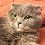 Le visage drôle de l'écossais plient le chat avec de grands yeux oranges Images libres de droits