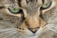 Le visage du chat Images stock