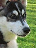 Le visage du chien de traîneau Photographie stock