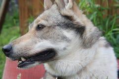 Le visage du chien, Sibérien occidental Laika Photos stock