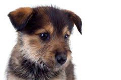 Le visage du chiot brun mignon Photos libres de droits