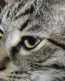 Le visage du gris a dépouillé le chat avec les yeux à moitié fermés photographie stock libre de droits