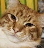 Le visage du rouge blanc a dépouillé le chat avec les yeux à moitié fermés photos libres de droits