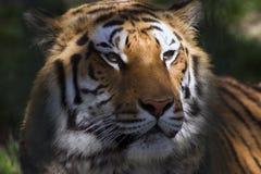 Le visage du tigre Image libre de droits