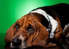 Le visage triste de chien de basset de regard Photographie stock libre de droits