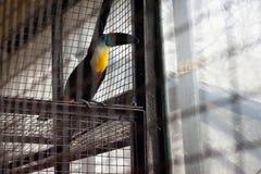 Le vitellinus canal-affiché de Ramphastos de toucan images libres de droits