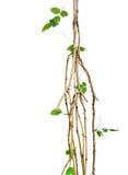 Le viti selvatiche, viti della giungla con le piccole viti verdi della foglia hanno torto il aro Immagini Stock Libere da Diritti