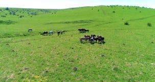 Le vol au-dessus des chevaux sauvages vivent en troupe sur le pré de montagne Nature sauvage de montagnes d'été Concept d'écologi banque de vidéos