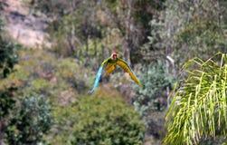 Le vol d'un perroquet Image libre de droits