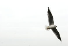 Le vol de mouette libèrent. photographie stock