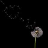 Le vol de pissenlit sème la forme de coeur sur le noir Photo stock