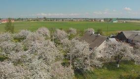 Le vol du bourdon au-dessus du champ de pommiers de floraison dans le village russe clips vidéos
