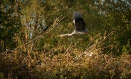 Le vol du héron. Le vol d'un héron sur les marais de saint Omer nord pas de Calais France royalty free stock images