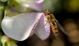 Le vol plané vole sur la fleur de pois doux Photo stock