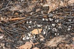 Le vongole dei crostacei nella foresta si trovano sugli aghi e sulle ceneri dopo un fuoco, struttura del fondo Fotografia Stock