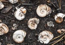 Le vongole dei crostacei nella foresta si trovano sugli aghi e sulle ceneri dopo un fuoco, struttura del fondo Immagine Stock Libera da Diritti