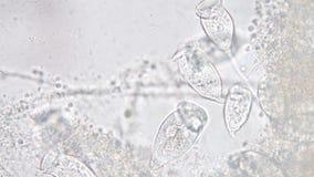 Le Vorticella est un genre de protozoan banque de vidéos