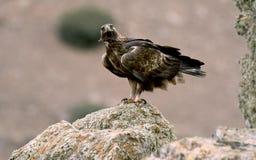 le vrai aigle observe son territoire Photographie stock libre de droits