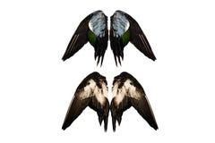 Le vrai canard coupé s'envole sur l'ange d'isolement par fond blanc quatre d'avant arrière deux paires images stock