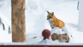Le vulpes commun de Vulpes de renard rouge recherche la nourriture le jour du ` s d'hiver L'animal timide évasif sort des bois image libre de droits