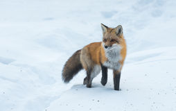 Le vulpes commun de Vulpes de renard rouge recherche la nourriture le jour du ` s d'hiver L'animal timide évasif sort des bois Photographie stock libre de droits