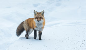Le vulpes commun de Vulpes de renard rouge recherche la nourriture le jour du ` s d'hiver L'animal timide évasif sort des bois Photos libres de droits