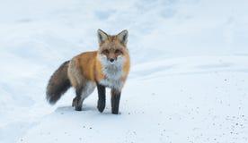 Le vulpes commun de Vulpes de renard rouge recherche la nourriture le jour du ` s d'hiver L'animal timide évasif sort des bois photos libres de droits