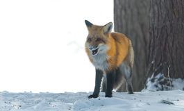 Le vulpes commun de Vulpes de renard rouge recherche la nourriture le jour du ` s d'hiver L'animal timide évasif sort des bois Photos stock