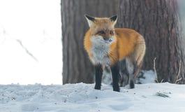 Le vulpes commun de Vulpes de renard rouge recherche la nourriture le jour du ` s d'hiver L'animal timide évasif sort des bois Image stock
