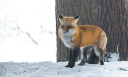 Le vulpes commun de Vulpes de renard rouge recherche la nourriture le jour du ` s d'hiver L'animal timide évasif sort des bois Images libres de droits