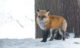 Le vulpes commun de Vulpes de renard rouge recherche la nourriture le jour du ` s d'hiver L'animal timide évasif sort des bois Images libres de droits