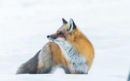 Le vulpes commun de Vulpes de renard rouge recherche la nourriture le jour du ` s d'hiver L'animal timide évasif sort des bois photographie stock