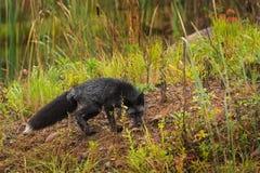 Le vulpes de Vulpes de Fox argenté renifle la terre Image stock