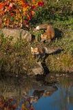 Le vulpes de Vulpes de Fox rouge fonctionnent au bord de l'eau Photo libre de droits