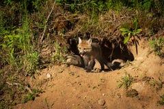 Le vulpes de Fox rouge Kit Vulpes émerge du repaire Photos stock