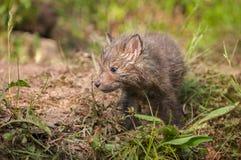 Le vulpes de Fox rouge Kit Vulpes regarde à gauche Image stock