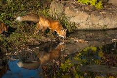 Le vulpes de Vulpes de Fox rouge renifle à l'eau Photo libre de droits