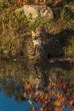 Le vulpes de Vulpes de Fox rouge se tient au bord des eaux Photographie stock