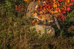 Le vulpes de Vulpes de Fox rouge se tient sur la roche Photographie stock