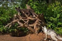 Le vulpes de Vulpes de Fox argenté se tient sur des racines au-dessus de Fox de marbre Photo libre de droits