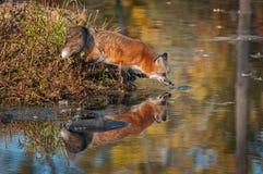 Le vulpes de Vulpes de Fox rouge s'étire au-dessus de l'eau Photographie stock