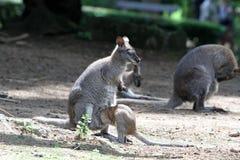 Le wallaby à col rouge image libre de droits