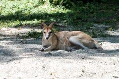 Le wallaby agile, agilis de Macropus ?galement connus sous le nom de wallaby ar?nac? images libres de droits