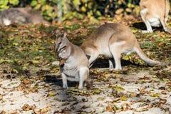 Le wallaby agile, agilis de Macropus ?galement connus sous le nom de wallaby ar?nac? image libre de droits