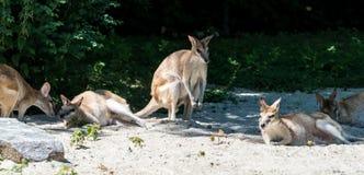 Le wallaby agile, agilis de Macropus ?galement connus sous le nom de wallaby ar?nac? photos libres de droits