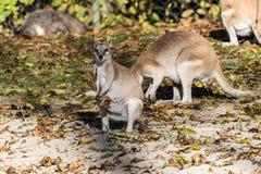 Le wallaby agile, agilis de Macropus ?galement connus sous le nom de wallaby ar?nac? photo libre de droits